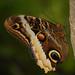 Caligo eurilochus, Mournful Owl