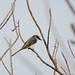 20110920_018  Ashy Minivet, 灰山椒鳥
