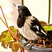 20110929 Pied Butcherbird (Cracticus nigrogularis)
