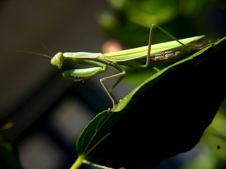 MANTIS RELIGIOSA | by jmaphotography