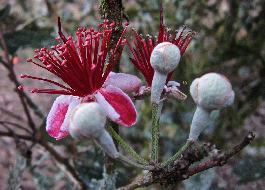 feijoa  unusual flowers