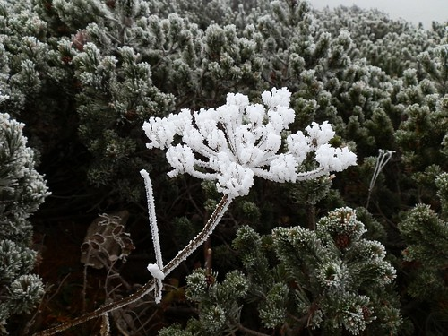 """Freezing flower"" (hoar frost, calabrosa by strong Bora wind) 