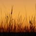 Grasses after Sunset