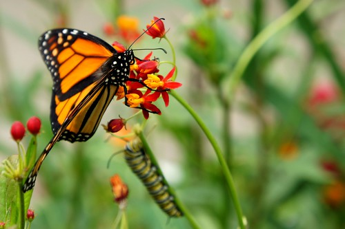 Monarch & the Caterpillar | by ♥ Brenda ♥