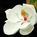 洋玉蘭(Southern Magnolia, Loblolly Magnolia)