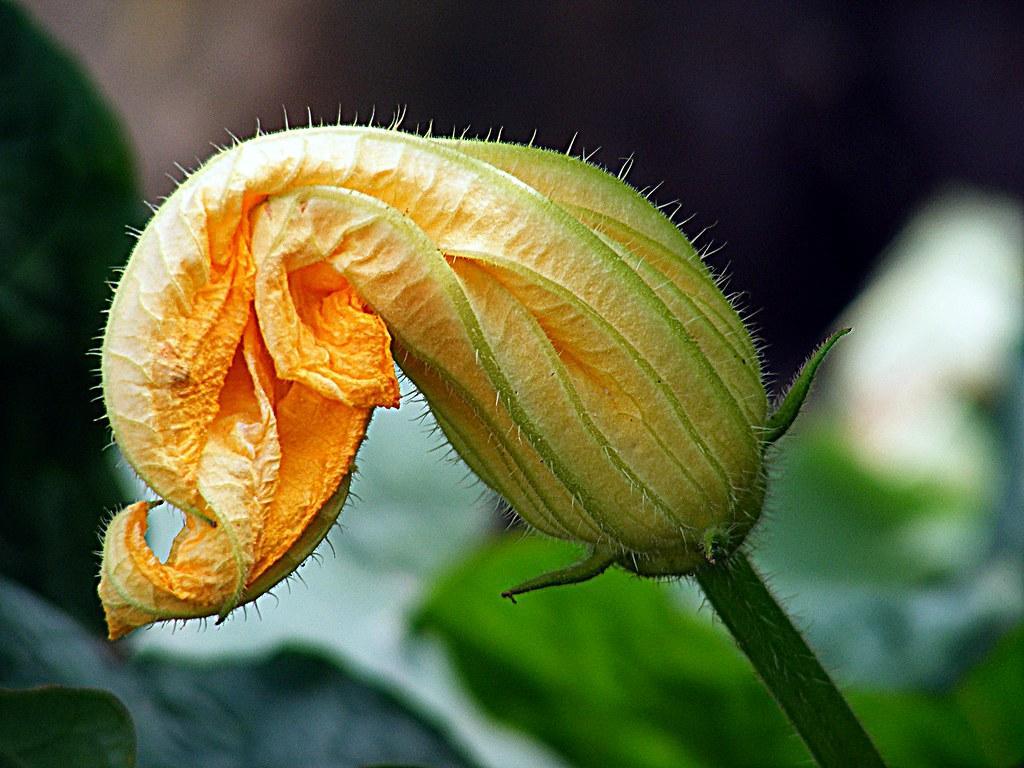 Risultati immagini per pumpkin flower