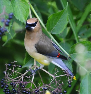 Cedar Waxwing | by ThomasD300