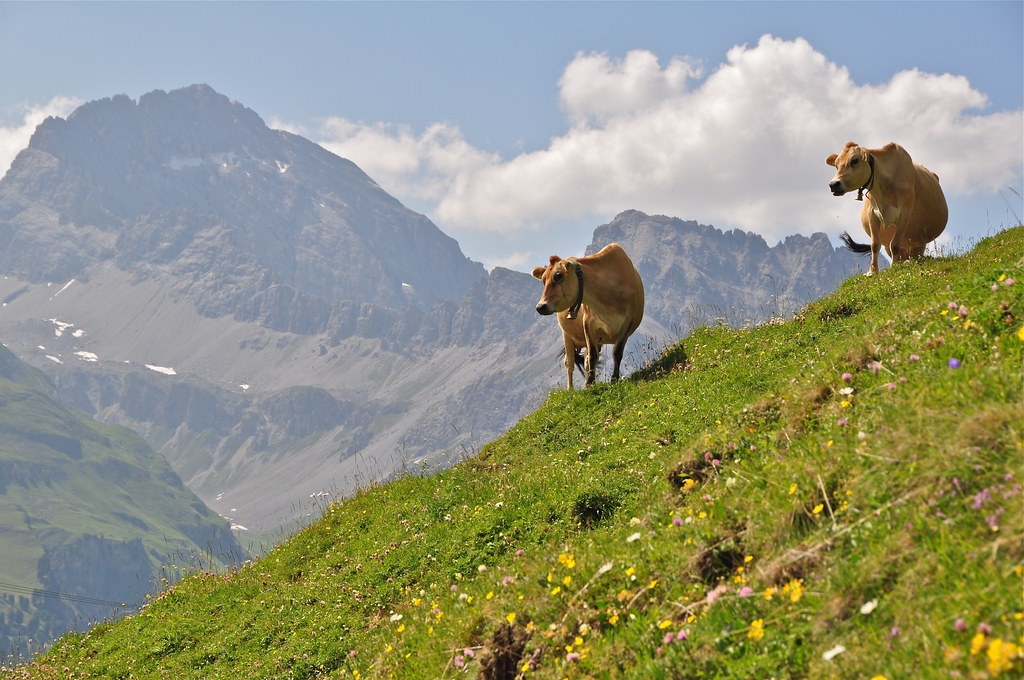 CATTLE ON THE ALP | Cattle on a high summer pasture (alp ...