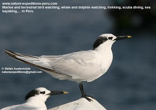 Sandwich tern Birding Peru (1) | by Nature Expeditions 06