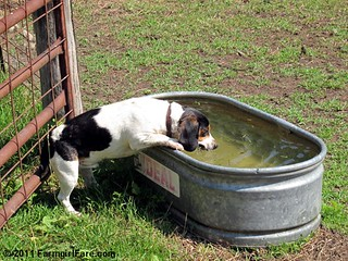 Beagle Bert and the water tank 1 | by Farmgirl Susan