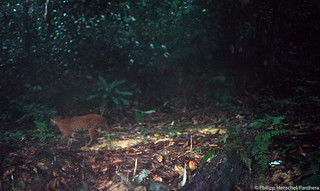 First camera trap photo of a living, wild African golden cat | by Panthera Cats