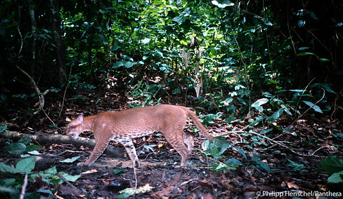 One of first photos of a living, wild African golden cat | by Panthera Cats