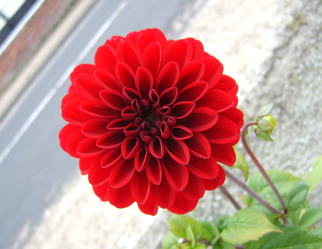 Red Dahlia Flower In My Side Yard This Year I Filled My Si Flickr