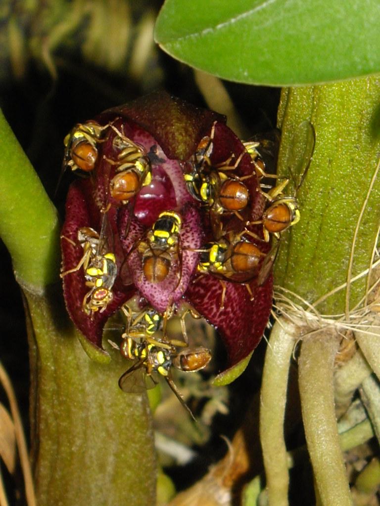 26 Bulbophyllum species with pollinators - Kundasang War M… | Flickr