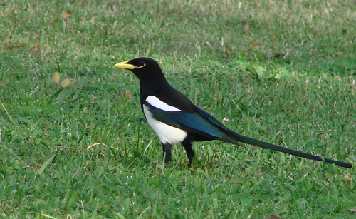 Yellow-billed Magpie | by Laura Erickson