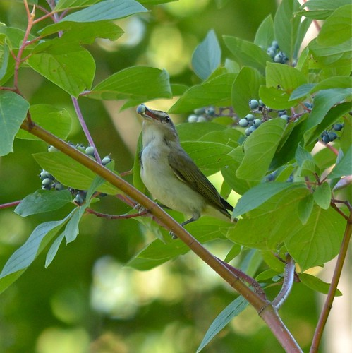 Warbling Vireo & Red Osier Dogwood berries | by corvidaceous