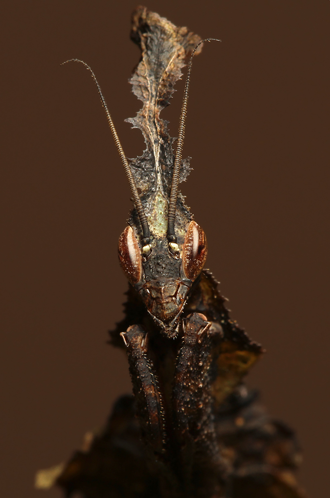 Ghost Mantis | This is...