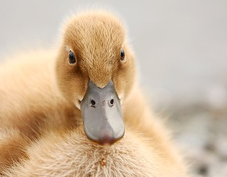 Late Summer Duckling | by Karen_Chappell