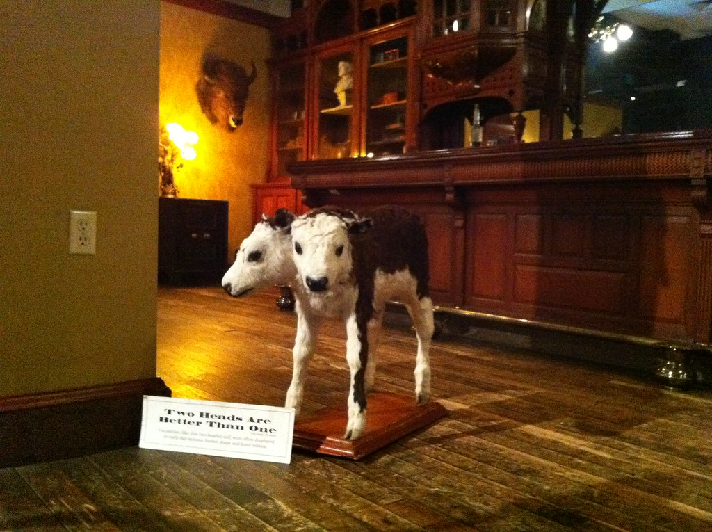 The famous two-headed calf at the Idaho State Historical M ...