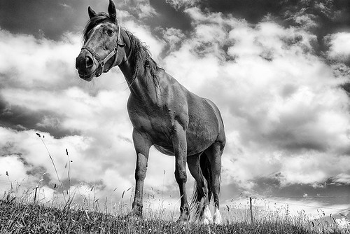 Beautiful horse in a pasture Ireland's Dingle Peninsula, black and white | by jackie weisberg