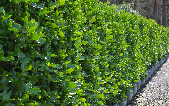 Griselinia Littoralis 39 Broadway Mint 39 Beautiful Tall
