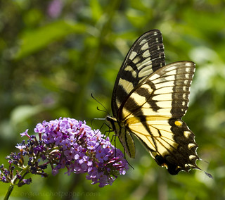Eastern Tiger Swallowtail (Papilio glaucus) | by www.heatmadesimple.com