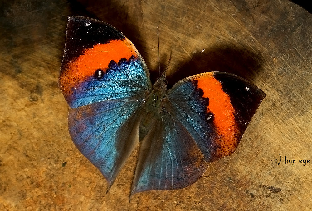 The Indian Leaf Butterfly / ผีเสื้อใบไม้ใหญ่