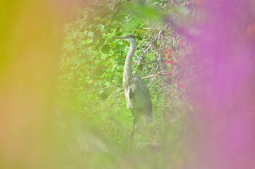 Great Blue Heron | by 9brandon