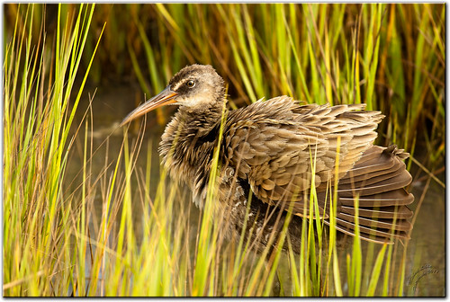 Clapper Rail | by mlibbe