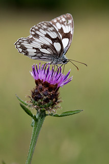 MARBLED WHITE  #15 | by GOLDENORFE