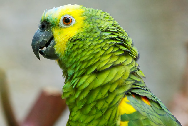 Попугай амазон сколько живут