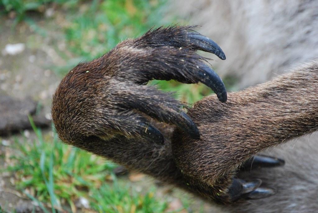ผลการค้นหารูปภาพสำหรับ kangaroos front claw