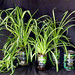 Spider plants growing in recycled glass bottle made into sub-irrigted planters