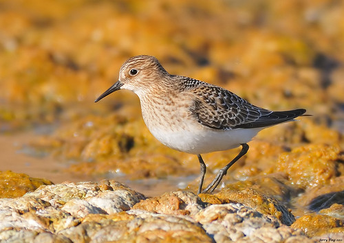 Baird's Sandpiper | by Jerry Ting