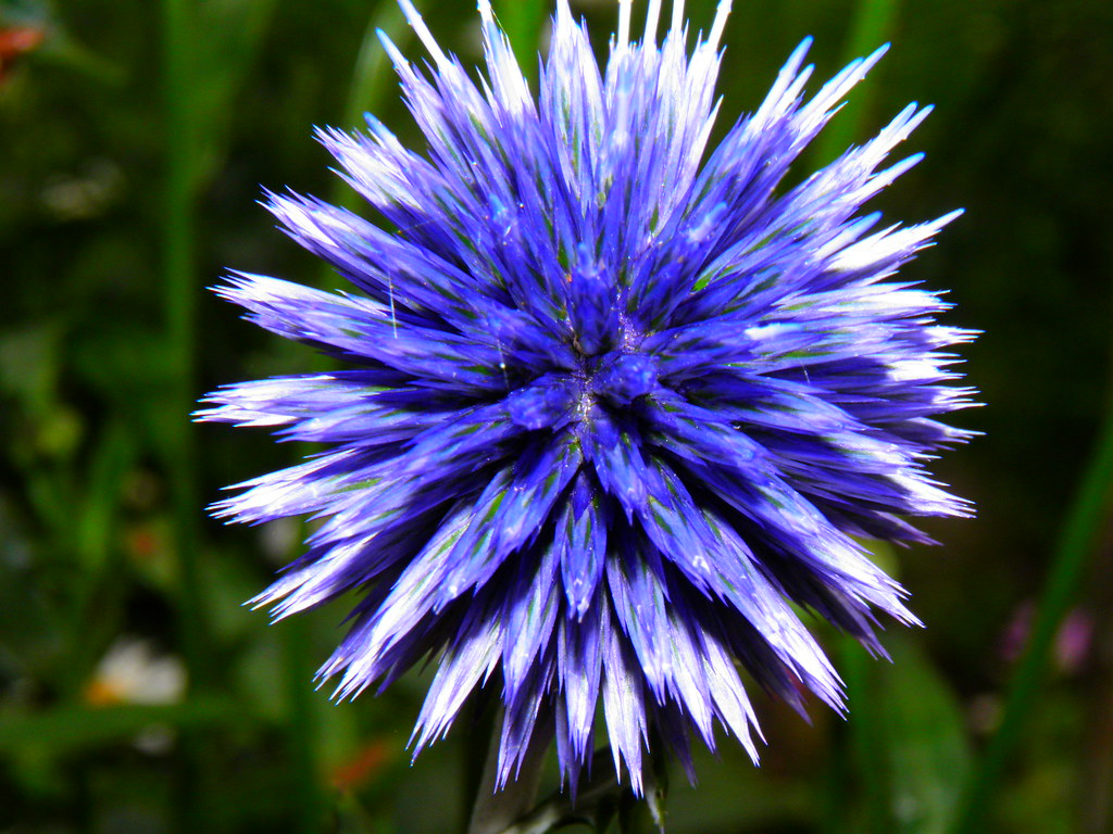 Spiky Ball Flower Spiky Blue Flower | by