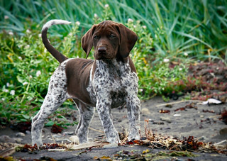 German shorthaired pointer | by Villi.Ingi