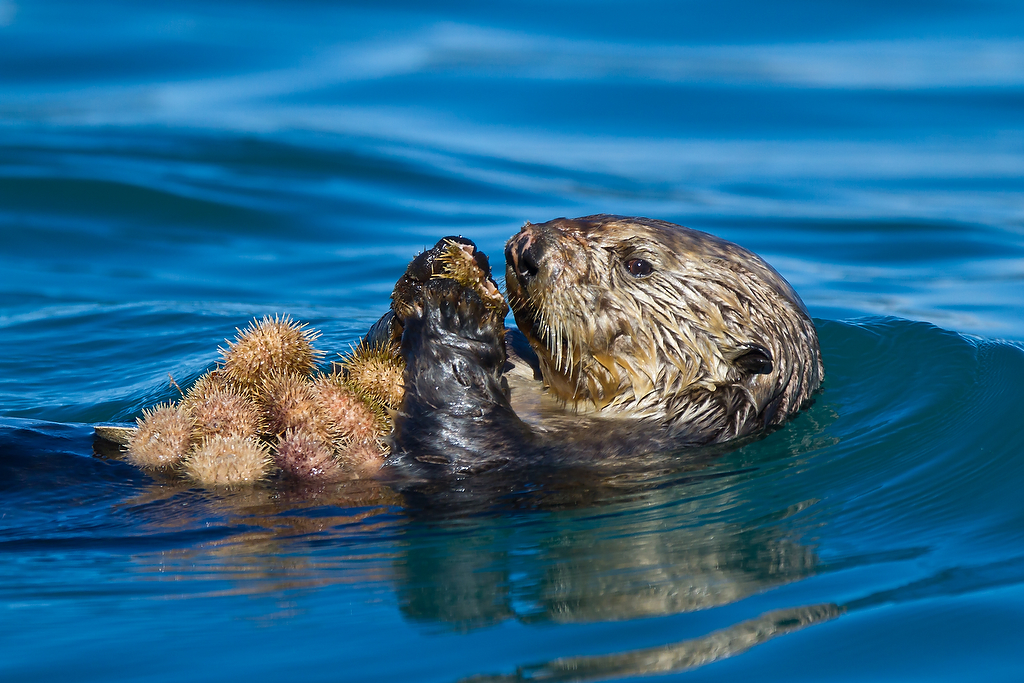 Sea Otter Eating a Cross Jellyfish | Sea Otter Eating a ... |Sea Otters Eating Bears