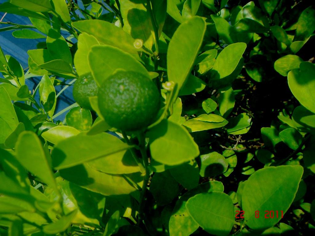 Citrofortunella Microcarpa Bunge Wijnands Mom Che Puteh Flickr Limau Kasturi Original New By Ahmad Fuad Morad