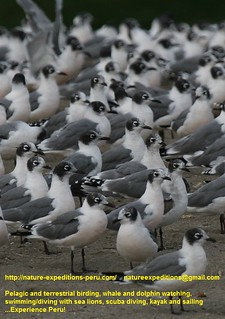 Franklins gull Birding Peru (32) | by Nature Expeditions 03