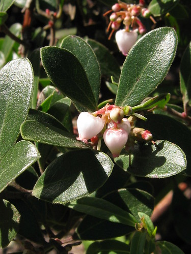 Franciscan Manzanita flowering | by USFWS Pacific Southwest Region