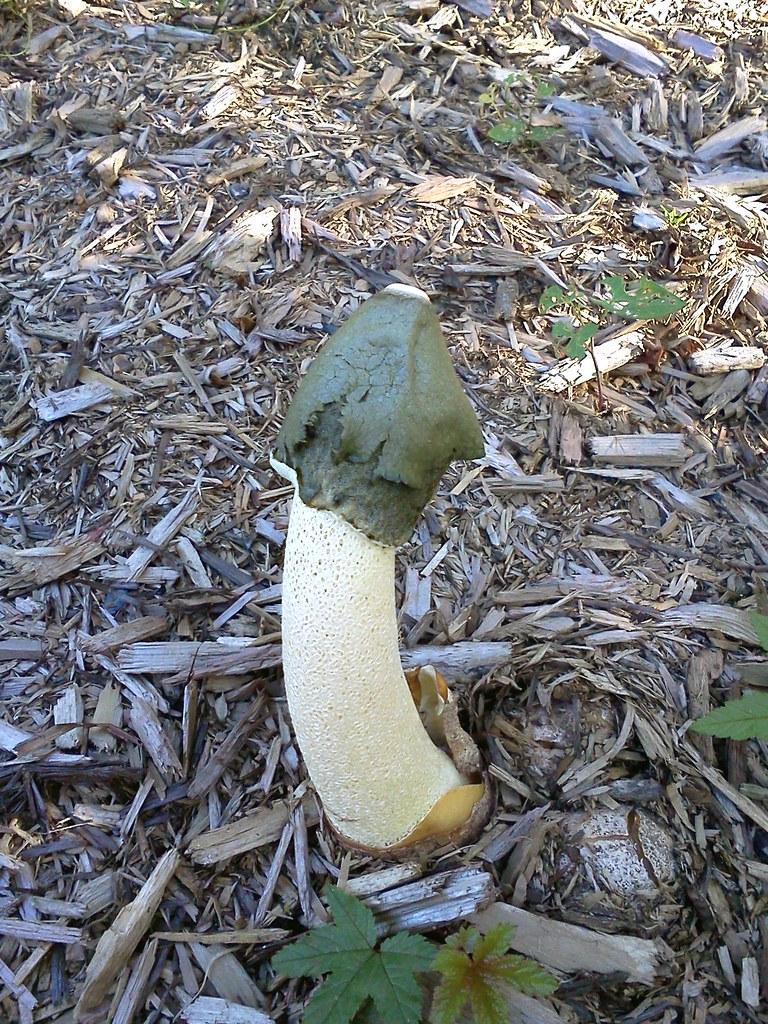 Phallic Mushroom Cool Mushroom I Found Uber Gardener