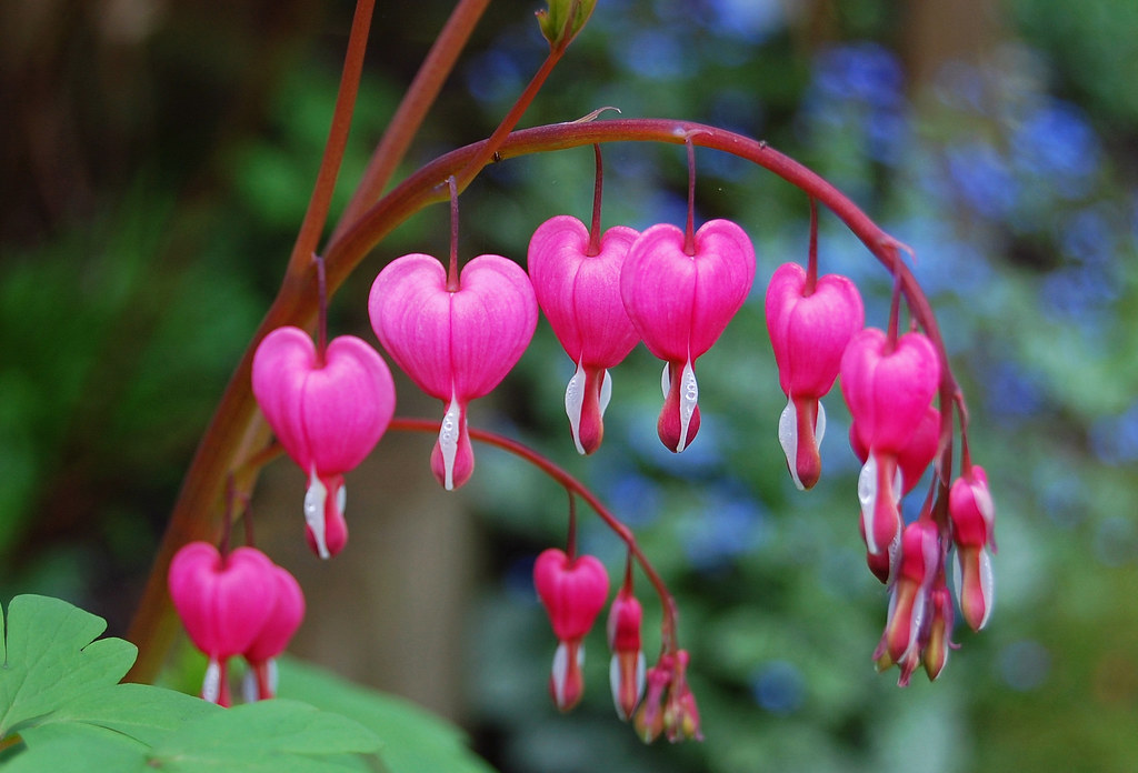 Bleeding Heart Flowers Maggie Flickr