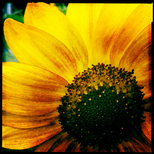 SUNFLOWER! | by sterno_yankees