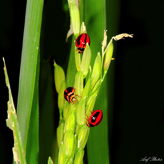 Bugs on Rice | by ariflickrs