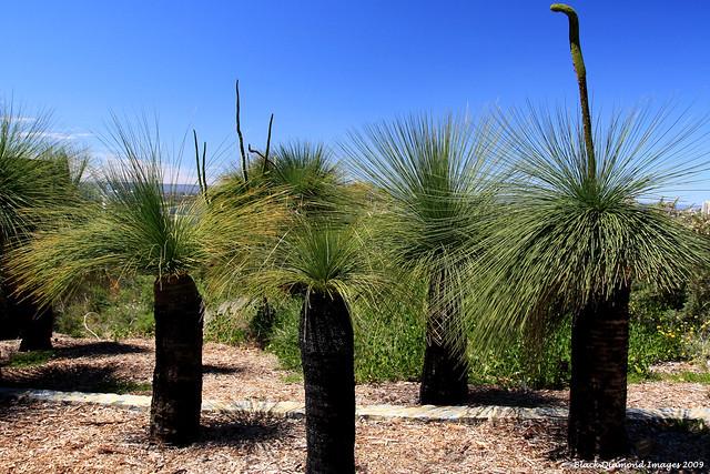 xanthorrhoea preissii - balga  grasstree