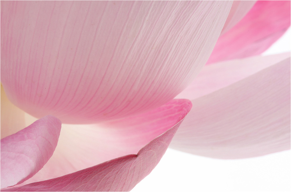 Lotus Flower Petals Petal Img6084 1000 Pink Lotus Flo Flickr