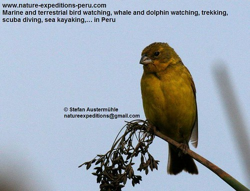 Grassland yellow-finch Birding Peru (6) | by Nature Expeditions 04