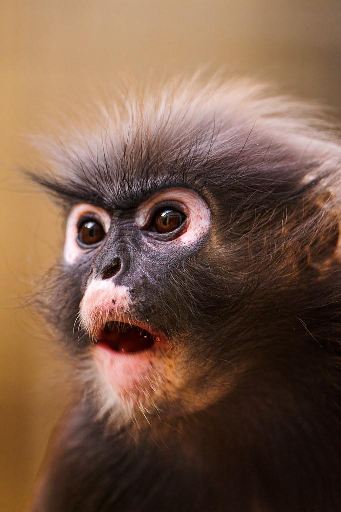 Proboscis Monkey Pictures from Sabah Borneo - Malaysia Asia