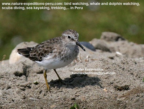 Least sandpiper Birding Peru (1) | by Nature Expeditions 04