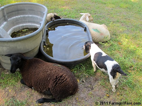 Beagle Bert tanking up at the sheep water trough | by Farmgirl Susan